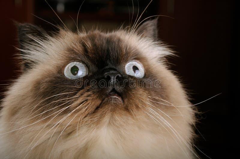 Portret birman kot z dużymi oczami fotografia stock