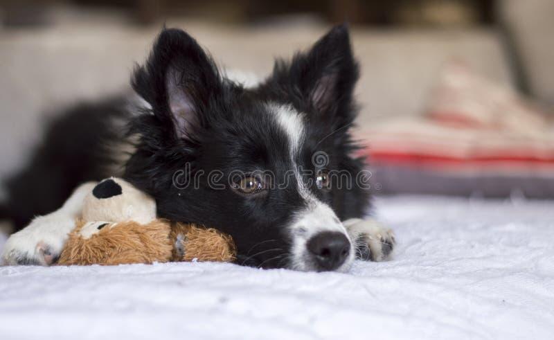 Portret Border collie szczeniaka dosypianie na sofà obrazy royalty free