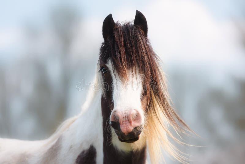 Portret Brown, biel i blondynka koń, zdjęcia stock