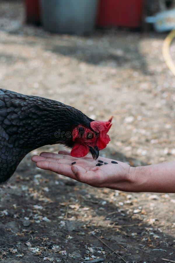 Portret brown domowa karmazynka z czerwonym grzebieniem na głowie Kurczaka drobiowego inscenizowania naturalni mięśni jajka piskl obraz stock