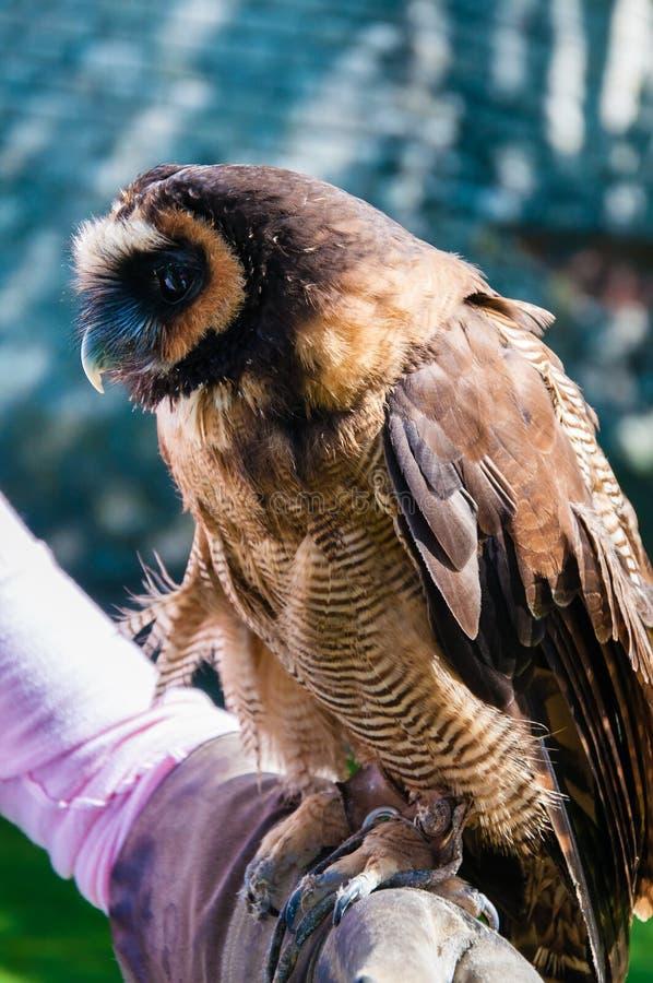 Portret brown drewniany sowy obsiadanie na sokolnik rękawiczce fotografia royalty free