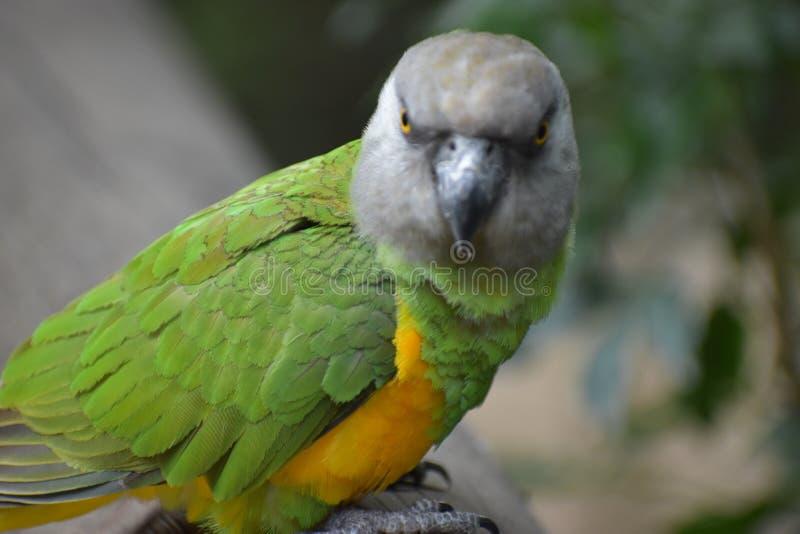 Portret Brown Głowiasta papuga w Południowa Afryka obrazy stock