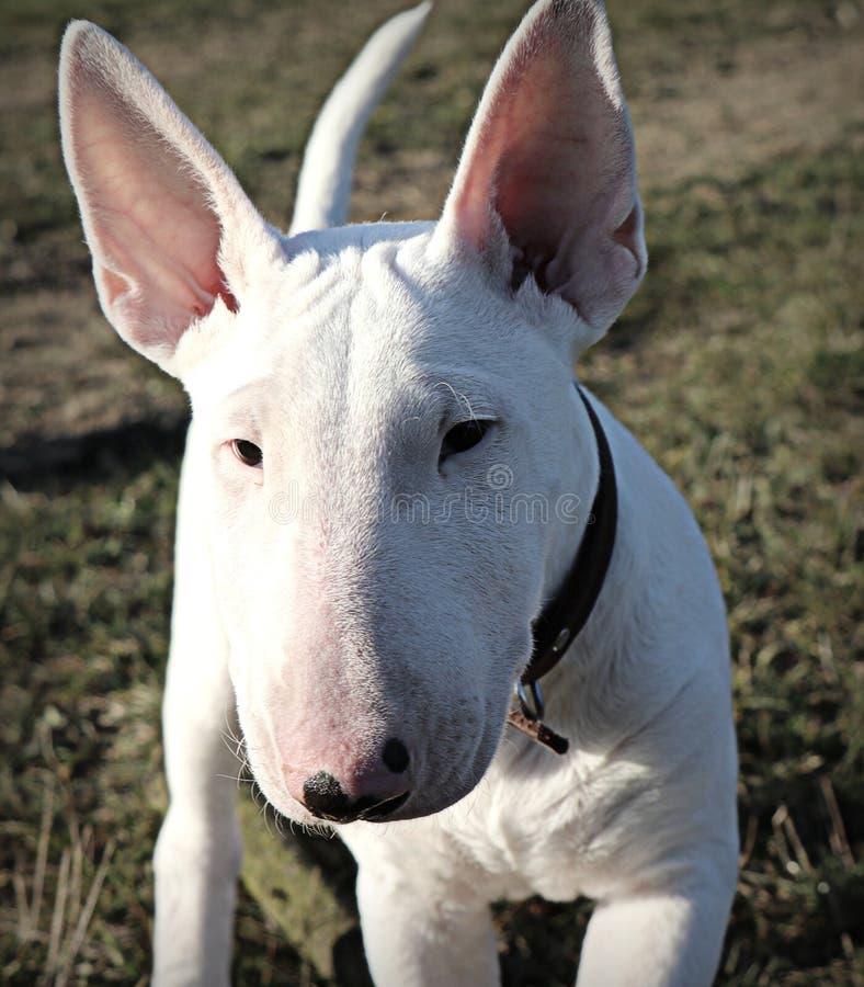 Portret bullterrier szczeniaka psa twarz obraz stock