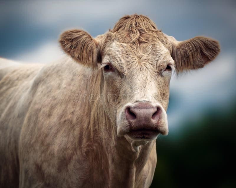 Portret Charolais krowa fotografia royalty free