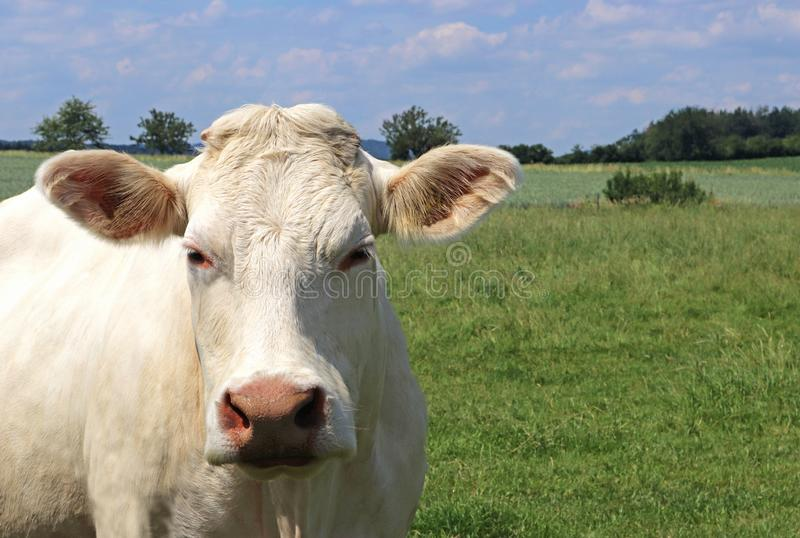 Portret Charolais krowa fotografia stock