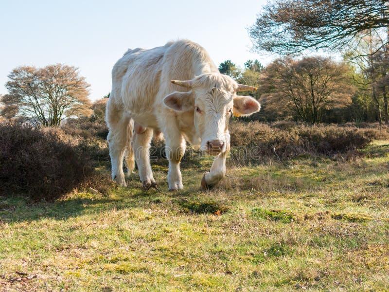 Portret Charolais krowy odprowadzenie w naturze, holandie fotografia stock