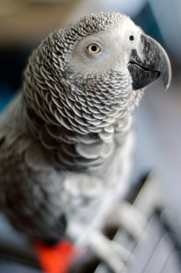 Portret ciekawa afrykańska popielata papuga zdjęcia royalty free