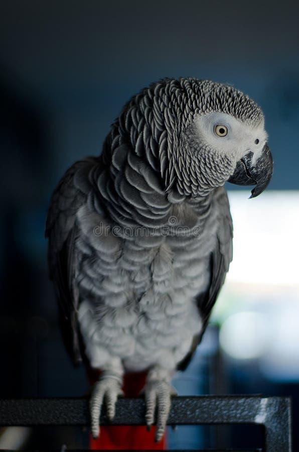 Portret ciekawa afrykańska popielata papuga obrazy stock