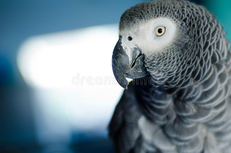 Portret ciekawa afrykańska popielata papuga zdjęcia stock