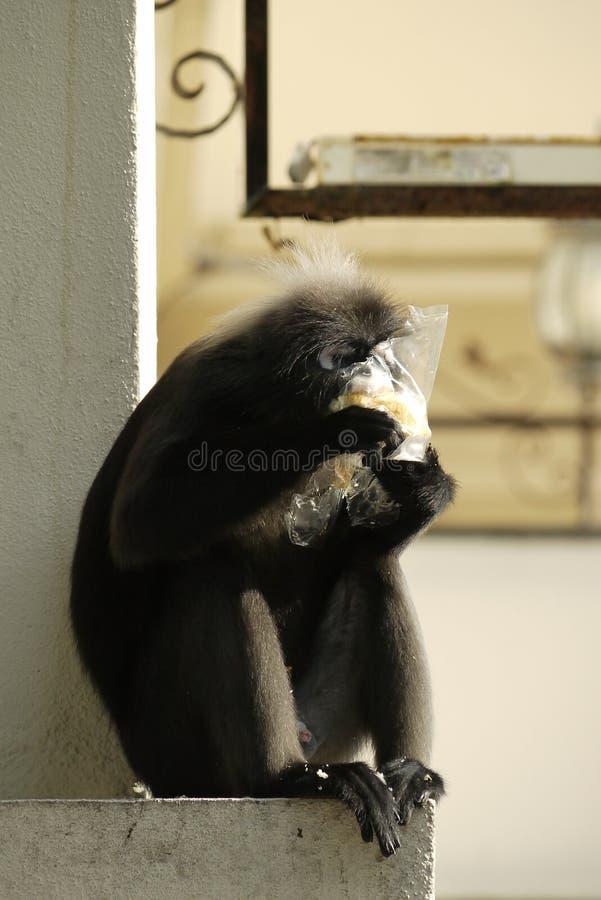 Portret Ciemniusieńka liść małpa obraz royalty free