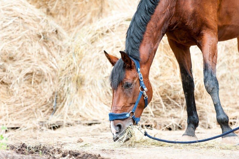 Portret cisawego końskiego łasowania suchy siano przy rolnym jardem obrazy royalty free