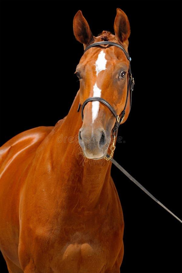 Portret cisawy koń, zdjęcie royalty free