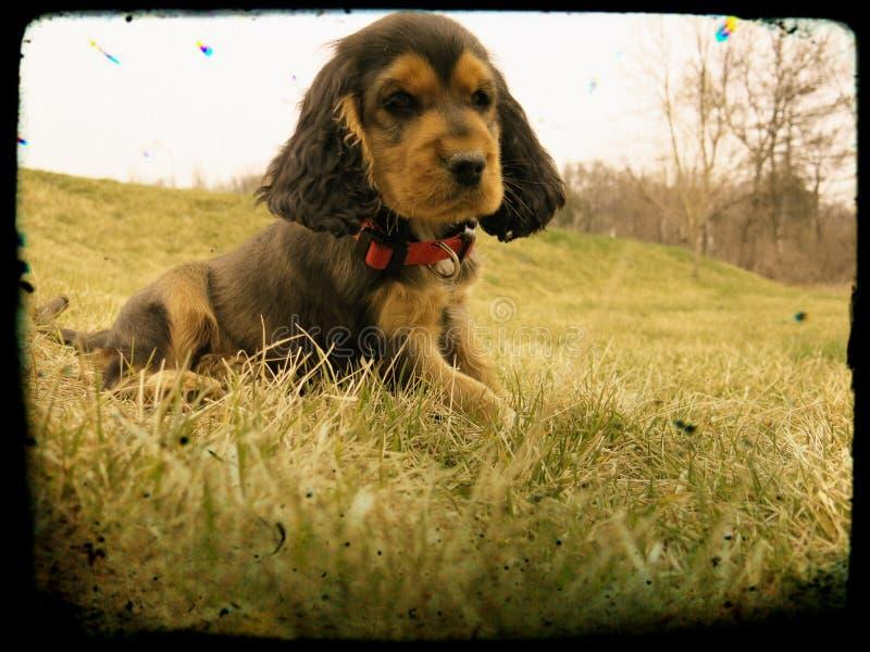 Portret Cocker Spaniel szczeniak zdjęcie stock