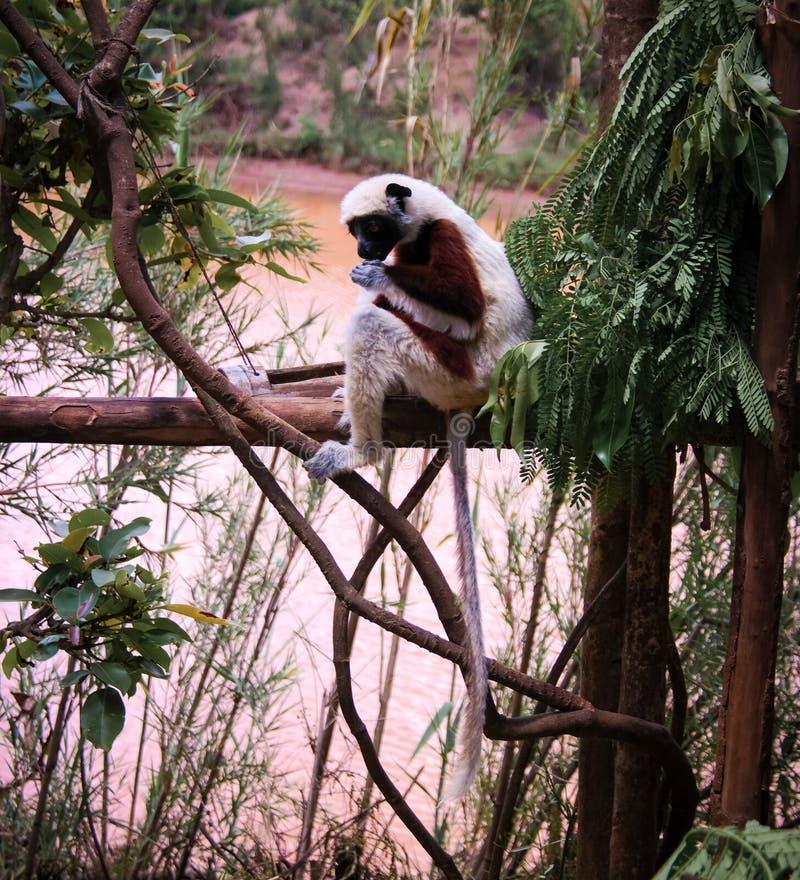 Portret Coquerel sifaka Propithecus aka coquereli przy lemurami parki, Antananarivo, Madagascar obraz stock