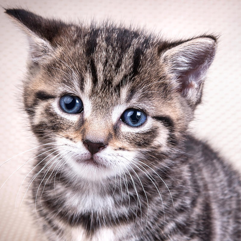 Portret of cute kitten. With blue eyes stock photos