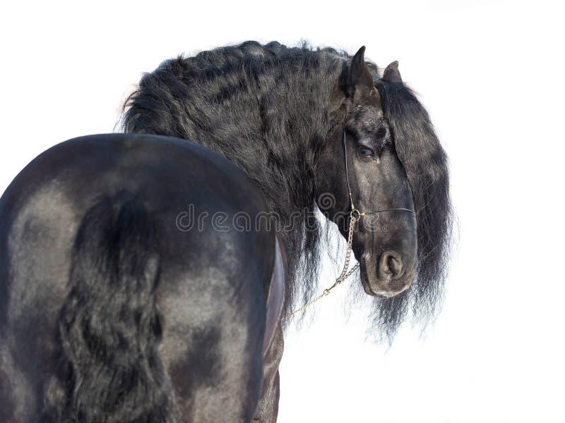 Portret czarny friesian koń obrazy stock
