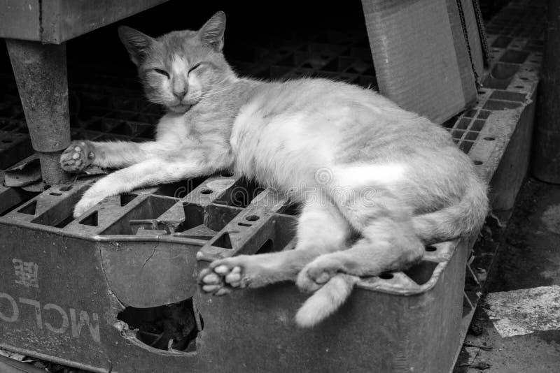 Portret Czarny I Biały Sleepyhead kot zdjęcia stock
