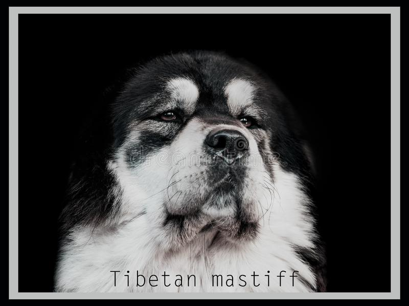 Portret czarny i biały Tybetański mastif obrazy stock
