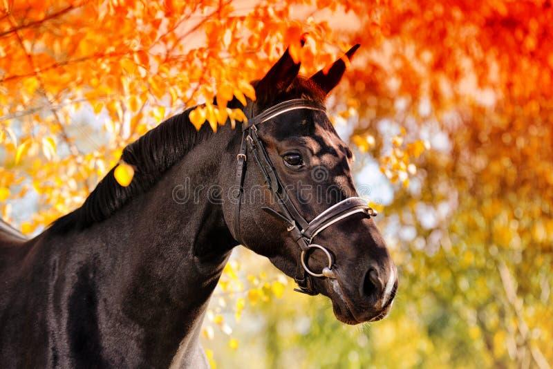 Portret czarny koń w jesieni fotografia stock