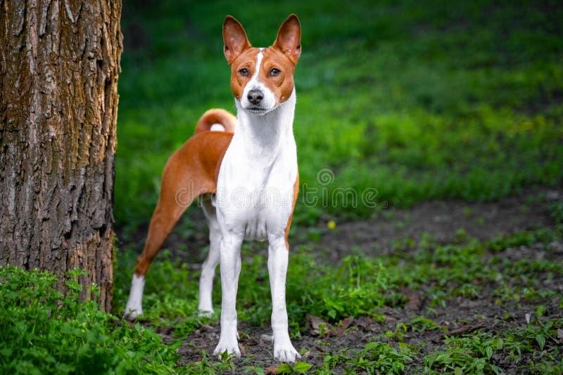 Portret czerwona basenji pozycja mi?dzy drzewami w lato lesie na zmierzchu Basenji Kongo Terrier pies obraz royalty free