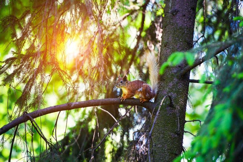 Portret czerwonej wiewiórki obsiadanie na gałąź obraz stock