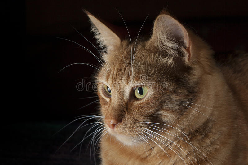 Portret czerwony kot fotografia royalty free