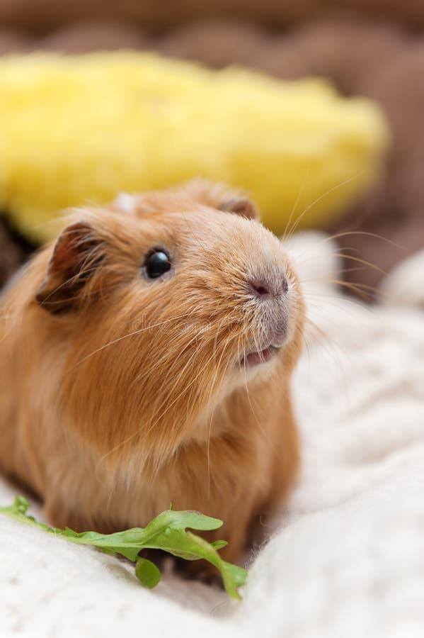 Portret czerwony królik doświadczalny zdjęcia royalty free