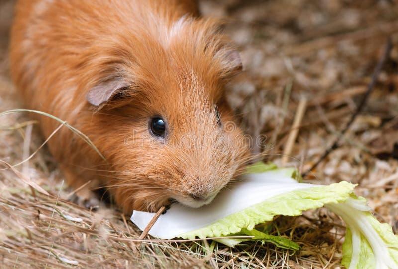 Portret czerwony królik doświadczalny fotografia stock