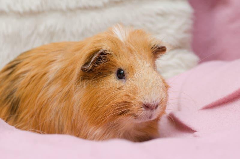Portret czerwony królik doświadczalny fotografia royalty free
