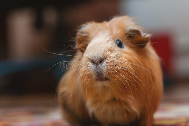 Portret czerwony królik doświadczalny, zamyka up zdjęcie royalty free