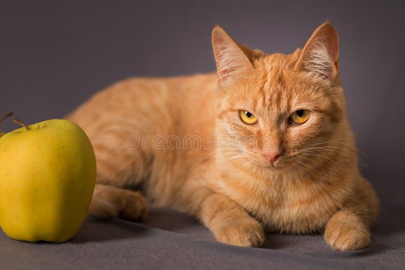 Portret czerwony pasiasty młody kot z świderkowatym spojrzeniem fotografia stock