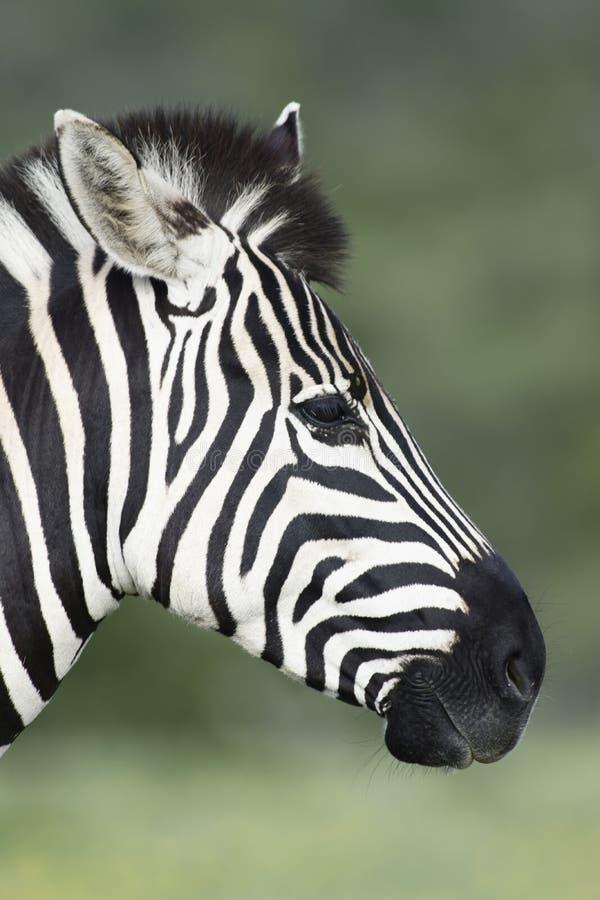 Portret da zebra das planícies em Addo Elephant National Park imagens de stock royalty free