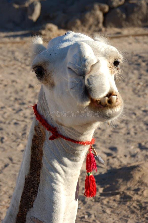 Portret del cammello fotografia stock libera da diritti
