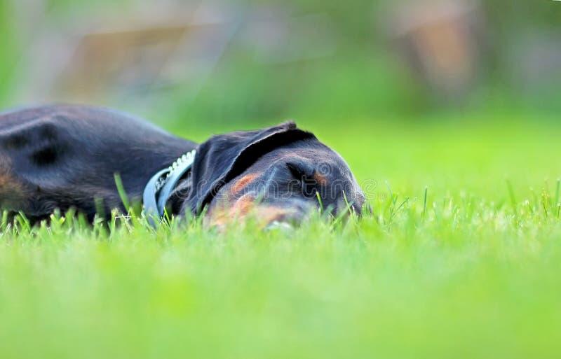 Portret die van Doberman in groen gras in park liggen De achtergrond is groen It' s een dichte omhooggaande mening stock afbeelding