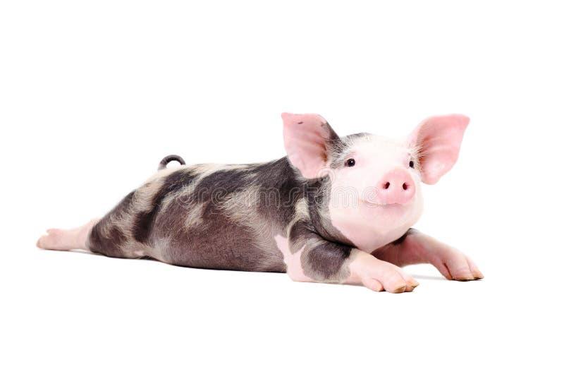 Portret die van een grappig klein varken, met uitgestrekte benen liggen stock foto's