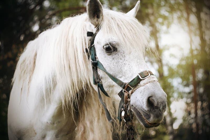 Portret die van een wit paard, zich tegen een pijnboombos bevinden royalty-vrije stock foto's