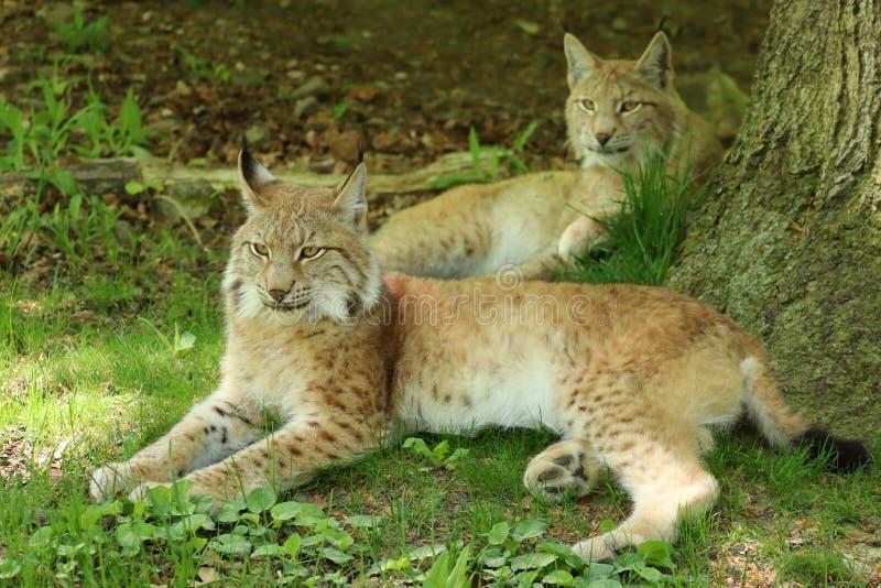 Portret die van Europese Lynx twee onder een boom liggen royalty-vrije stock afbeeldingen