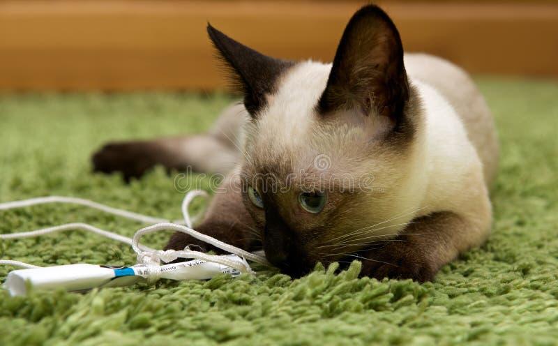Portret die van groen-eyed Siamese kat, weinig kat op natuurlijke onduidelijk beeld binnenlandse achtergrond spelen, mooie bruine  royalty-vrije stock foto's