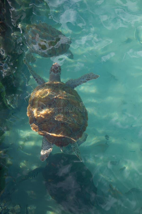 Portret die van hawksbill overzeese schildpad hoogste mening, enkel onder de oppervlakte zwemmen royalty-vrije stock foto's
