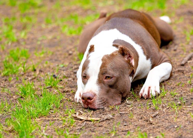 Portret die van hond op de grintgrond liggen Nadruk op zijn droevige ogen, anders de gehele hond in een zachte nadruk met hoofd  royalty-vrije stock afbeelding
