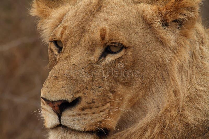 Portret die van jonge leeuw zich in het Nationale Park van Kruger bevinden royalty-vrije stock afbeelding