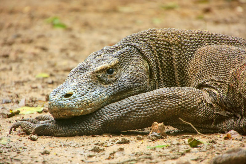 Portret die van Komodo-draak op Rinca-Eiland in Komodo Nati rusten stock foto