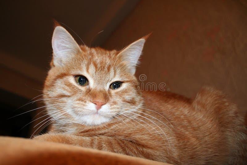 Portret die van pluizige gemberkat op de bank liggen Close-up royalty-vrije stock foto's