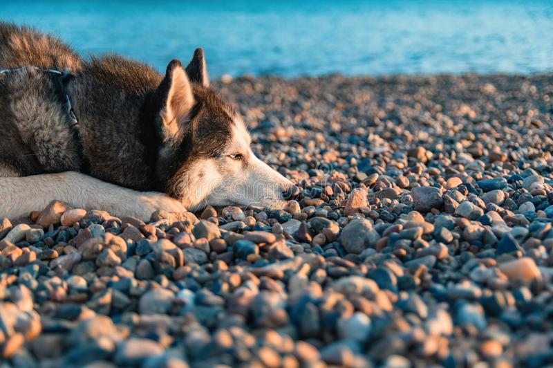 Portret die van Siberische schor hond op de kust liggen die zijn gezicht op kiezelstenen zetten stock foto