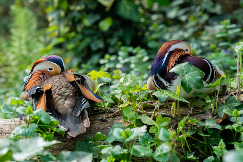 Portret die van twee Mandarin eenden op een boomboomstam rusten, met hun bekken tussen de veren stock afbeeldingen
