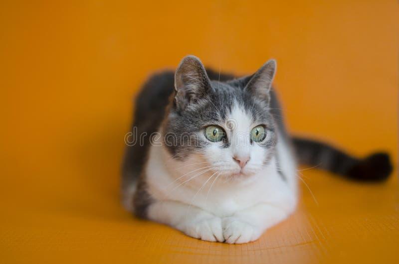 Portret do ` s do gato O gato é o gato que olha fixamente em algo imagem de stock