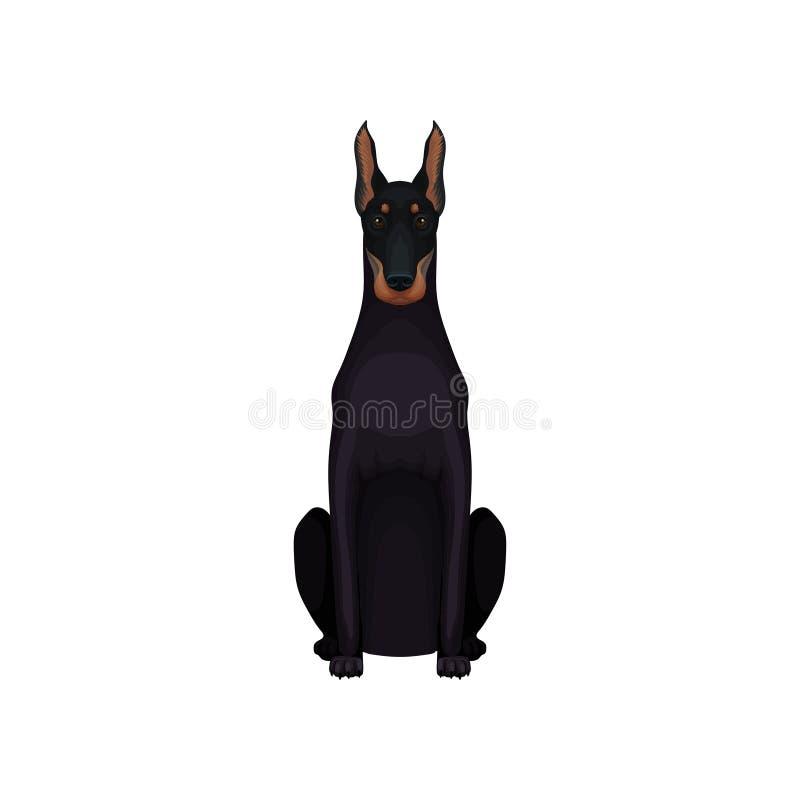 Portret Dobermann Ampuła traken pies z wymuskanym czarnym żakietem, sportowym ciałem, długimi ucho i kaganem, szczegółowy royalty ilustracja