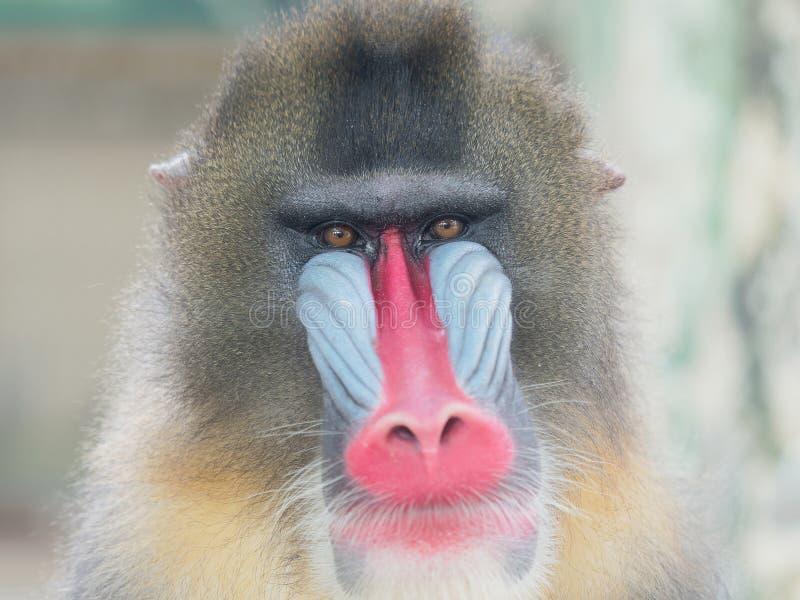 Portret dorosłej samiec mandryl, zbliżenie swój kolorowa śmieszna twarz zdjęcia stock