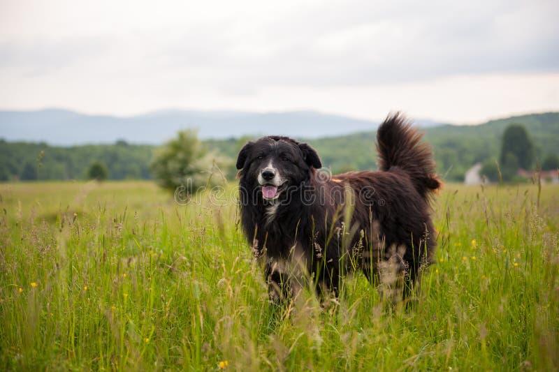 Portret duży czarny pies w polu z wysoką zieloną trawą Barani ochraniacz zdjęcia stock