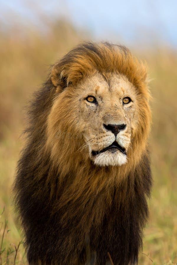 Portret duży lew Caesar zdjęcie royalty free